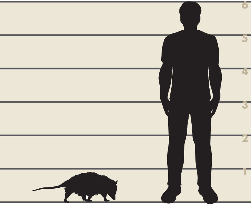 Man and opossum illustration