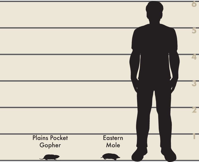 Man and mole illustration