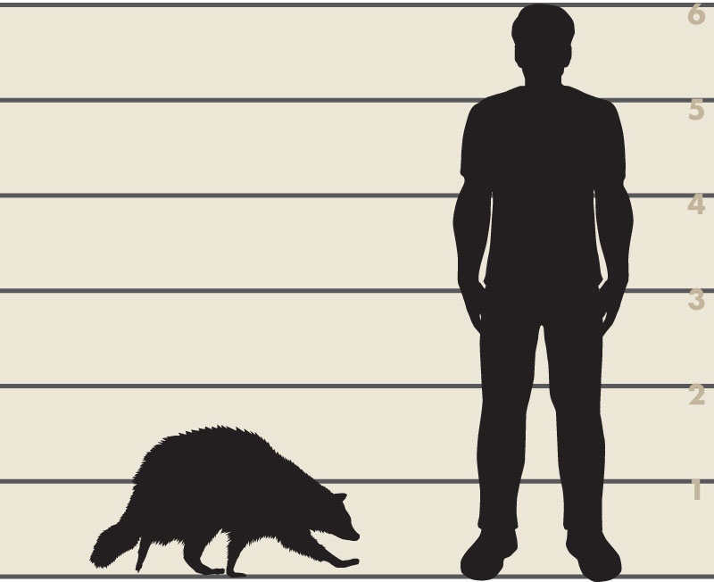 Man and raccoon illustration