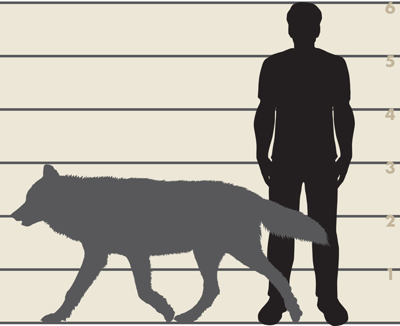 Graphic showing size comparison between man and wolf.