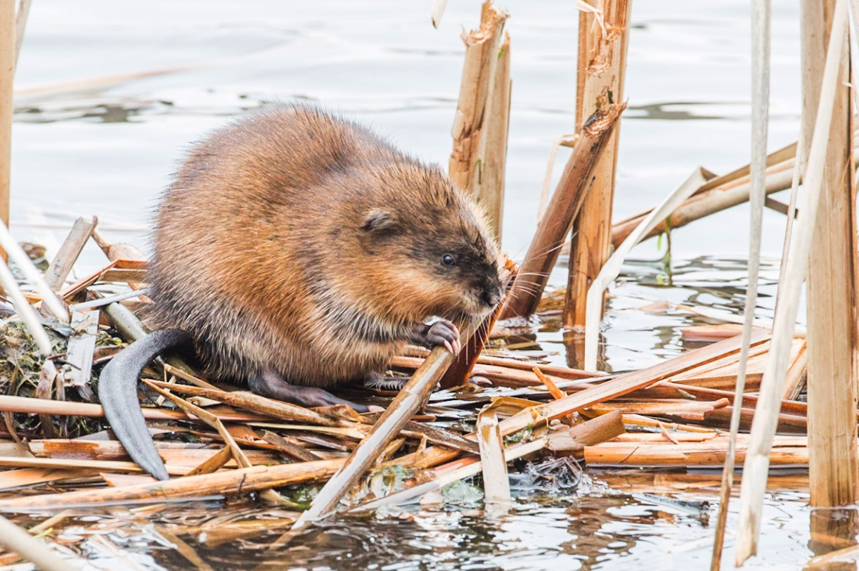 Muskrats have thin, vertically flattened tails.