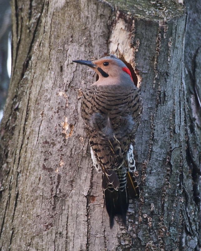A male northern flicker.