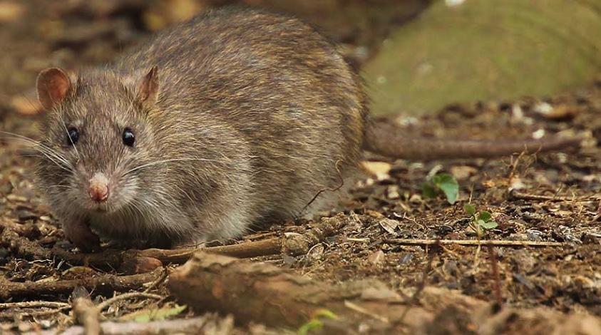 Norway rat, also called the brown rat.
