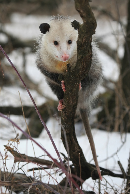 Virginia opossum sitting in a tree on a snowy day.
