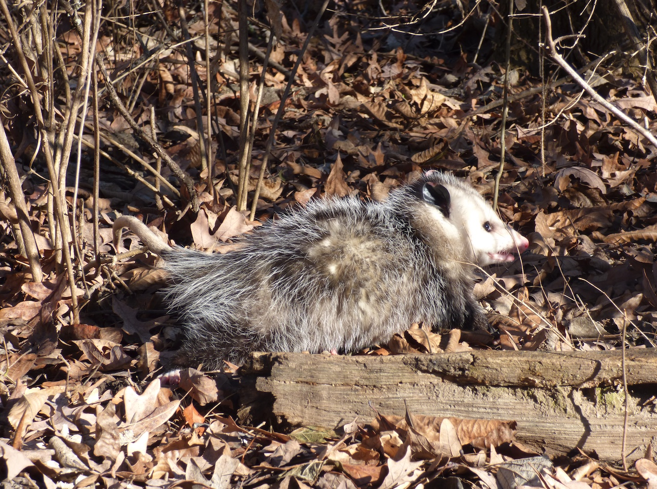 Opossum sitting next to a log in the woods.
