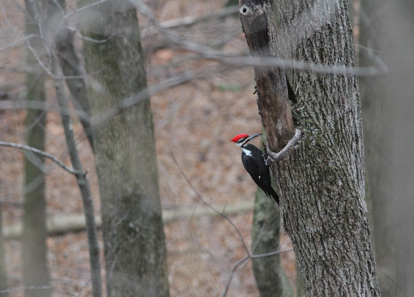 Pileated woodpeckers are the largest woodpeckers in Illinois.