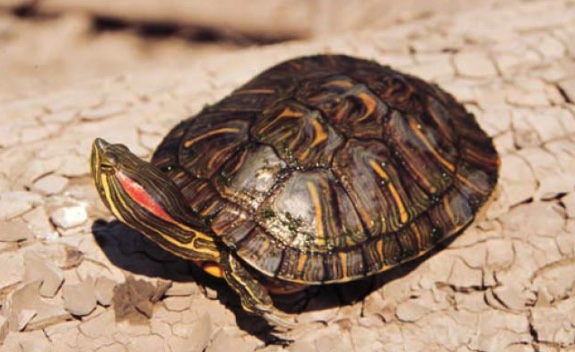 Of the three subspecies of Pond Slider recognized in the U.S., only the Red-eared Slider is found in Illinois.
