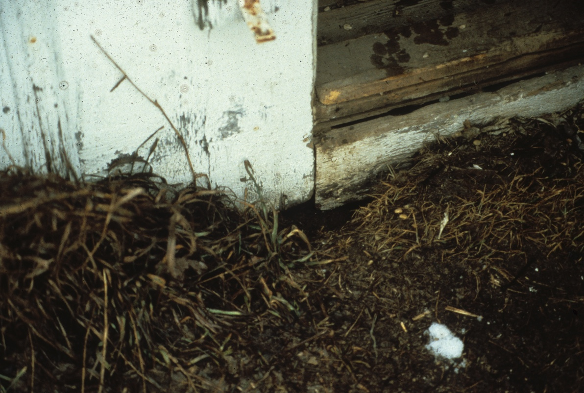 Red fox den under a shed. Note the tracks on the wooden door sill.