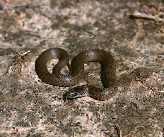 Smooth Earth Snake