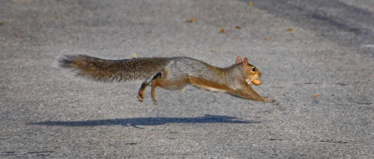Gray squirrel with a peanut.