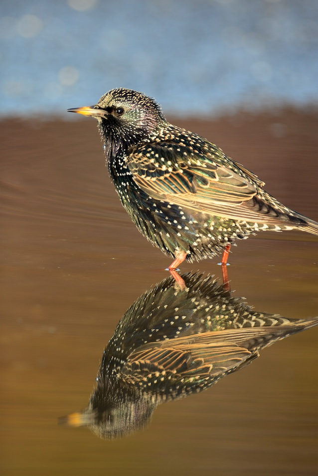 European starling in breeding plumage.