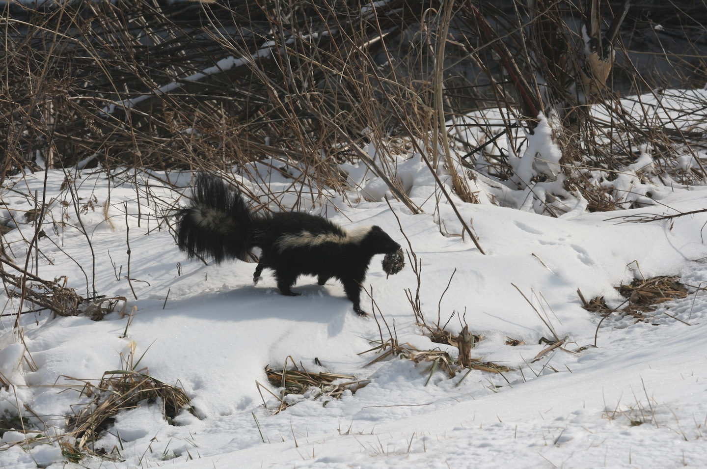 This striped skunk caught a vole.