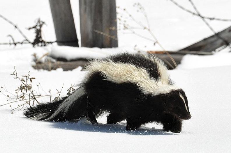 Striped skunk walking through the snow.