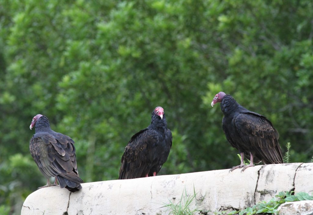 Adult turkey vultures can be identified by their red, featherless heads.