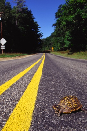 Eastern box turtle crossing the road.