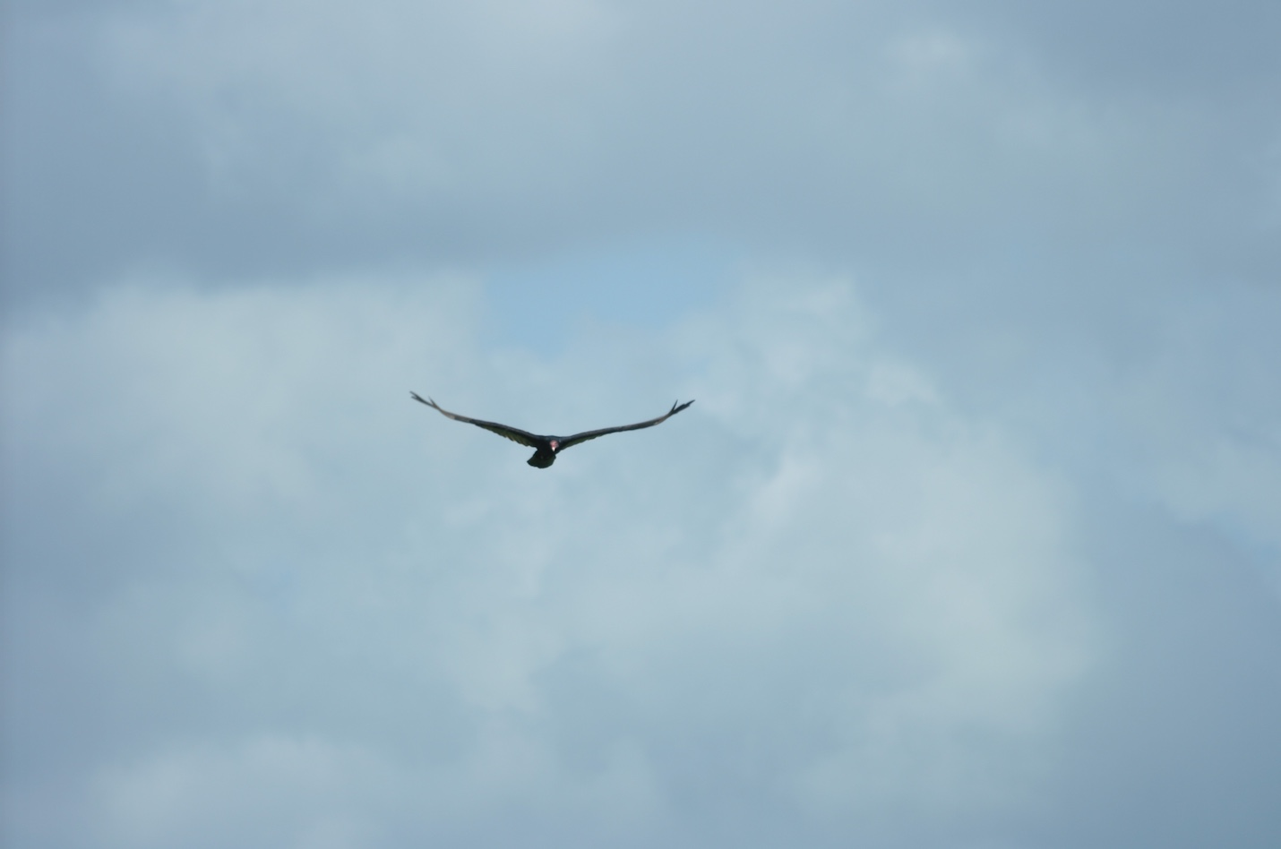 Turkey vulture soaring on an air current. Note the slight V-shape of the wings.