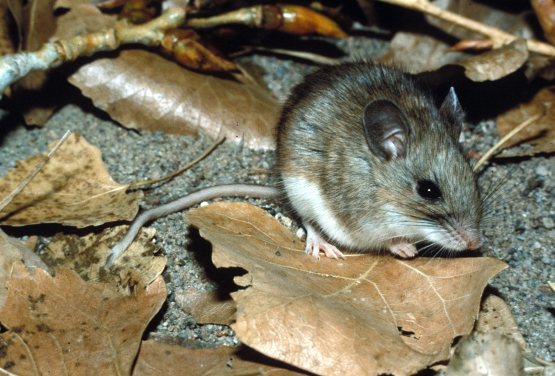 White-footed mouse sitting on dried leaves.