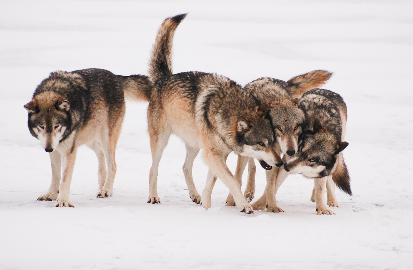 Wolf pack greeting each other in the snow.