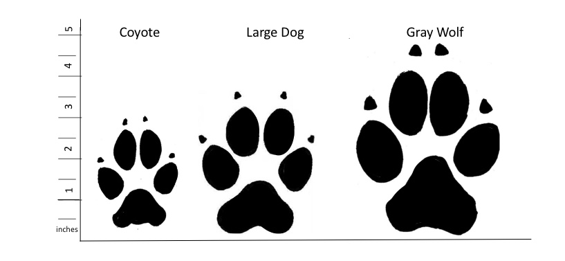Graphic showing size difference between coyote, dog and wolf tracks.