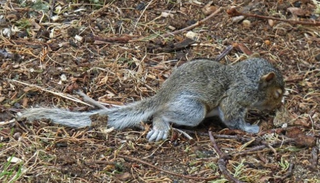 Baby gray squirrel on the ground after falling from the nest.