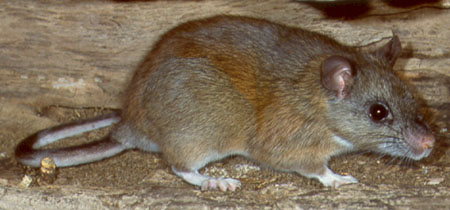 The Eastern woodrat is listed as an endangered species in Illinois.