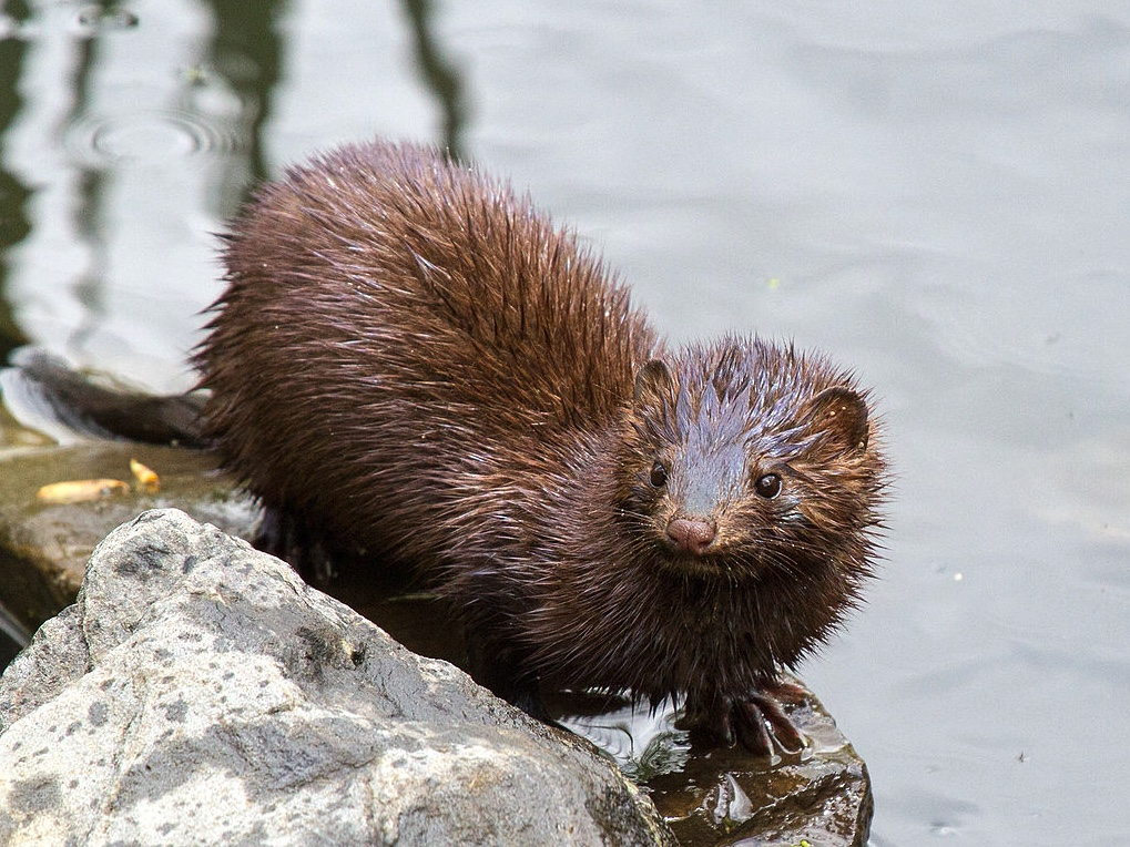 American mink next to the water