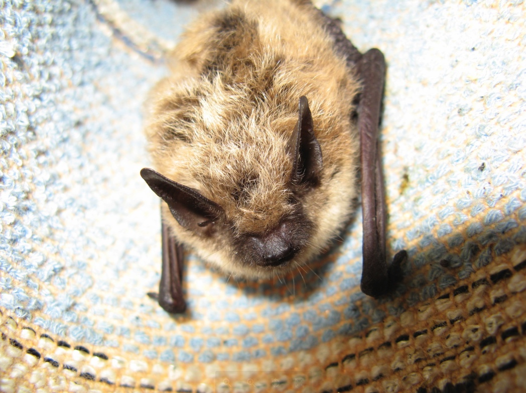 Bat hanging on a blue curtain.