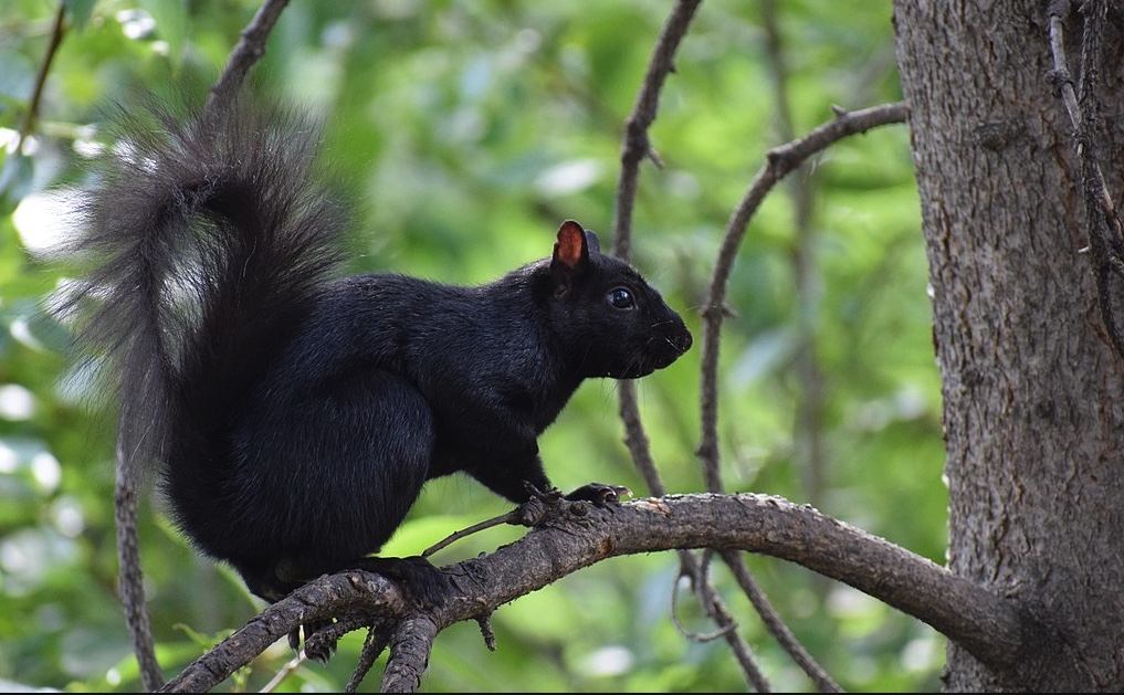 Melanistic phase of the Eastern gray squirrel.