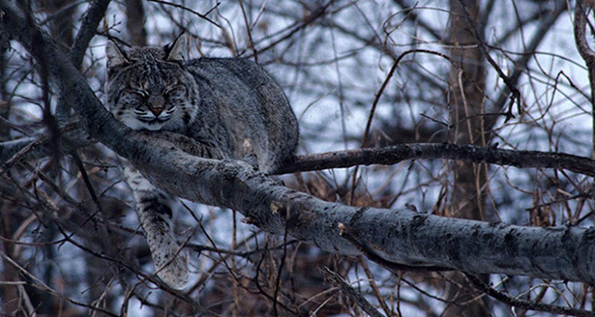 Bobcat in a tree.