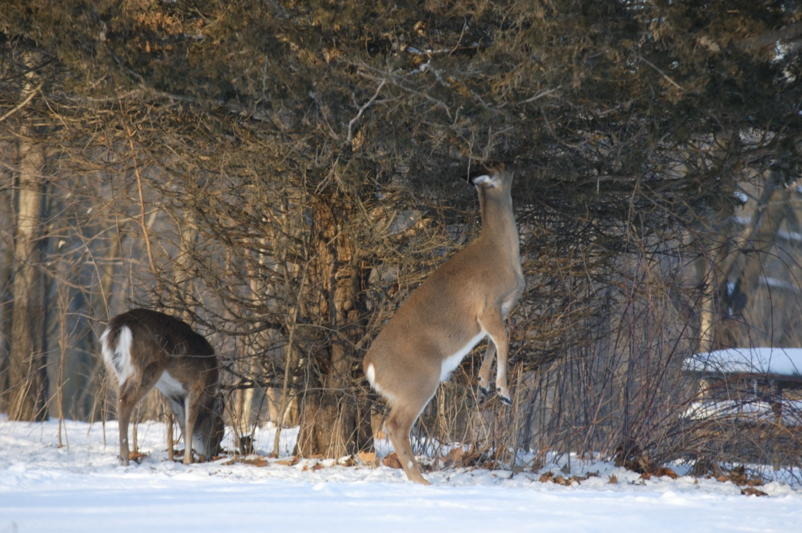 Deer will stand on their back legs to reach green vegetation.