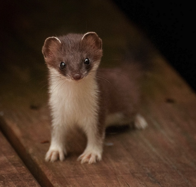 Young least weasel on a wooden deck.