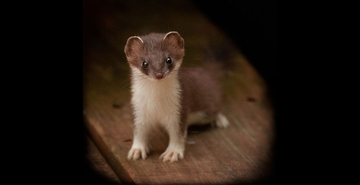 A young least weasel standing on a wooden plank.