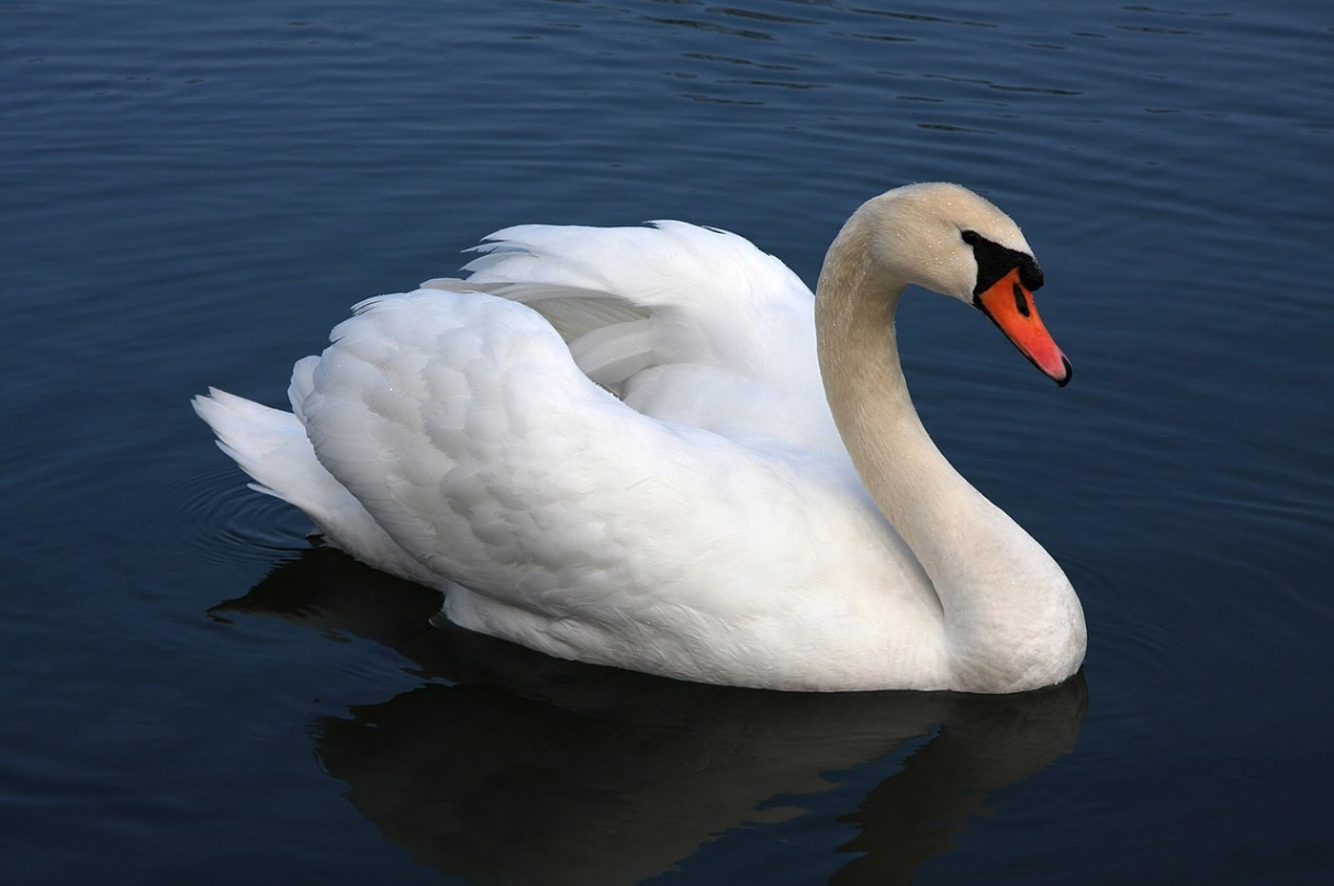Adult male mute swan swimming on the water.