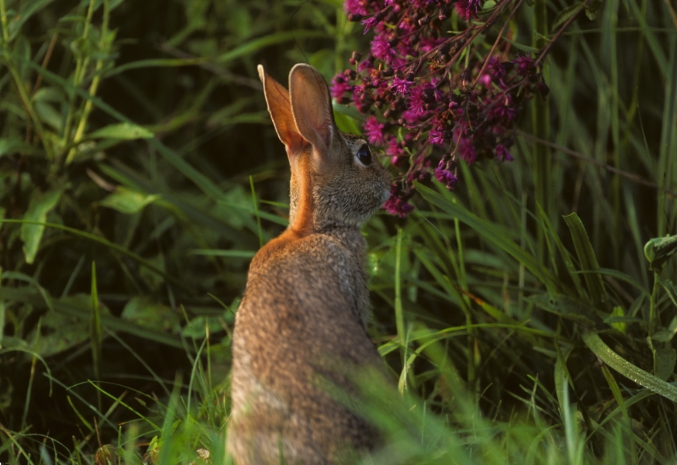 Rabbits can cause substantial damage to flowers and other landscaping.