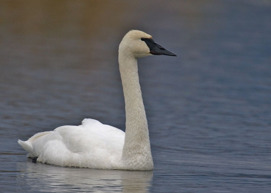 Trumpeter swans can be distinguished from mute swans by the difference in their bills. Adult trumpeter swans have a black bill and mute swans have an orange bill.