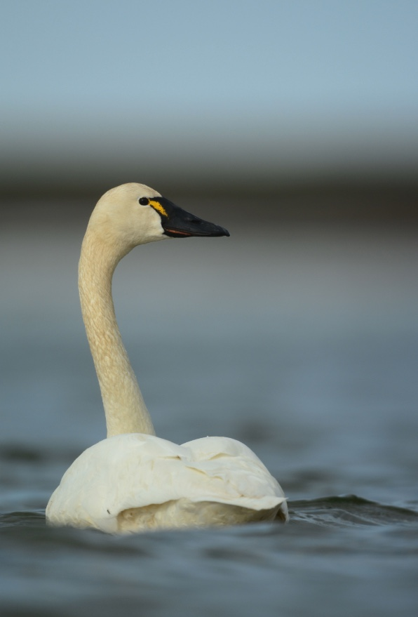 Tundra swans are smaller than trumpeter or mute swans. They have black bills with a yellow spot near the eye.