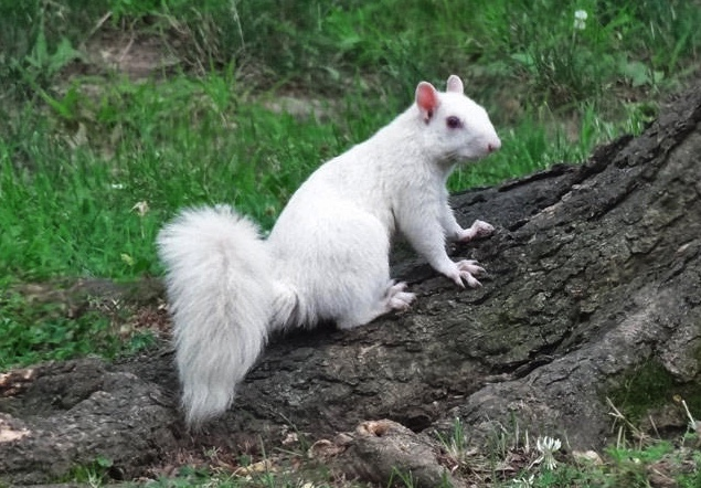A white Eastern gray squirrels in Olney, Illinois.