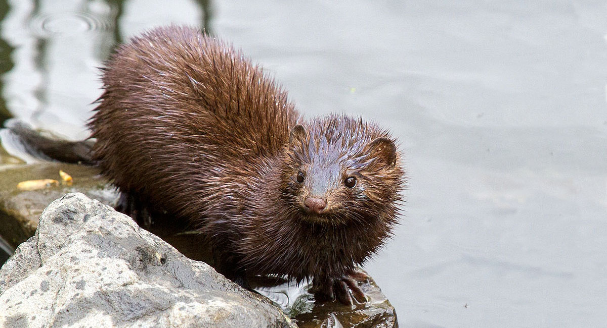 An American mink just came out of the water and is sitting on partially submerged rocks next to the pond.