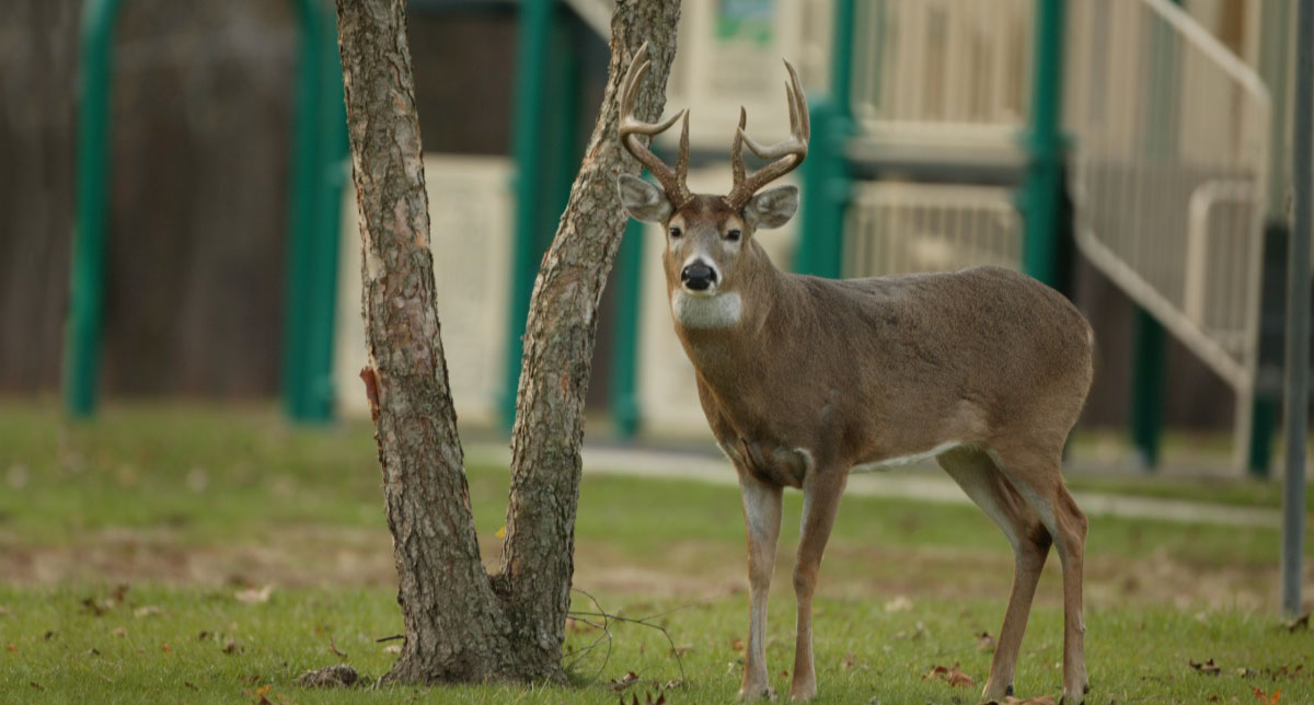 Large male white-tailed deer like this one in a playground can be dangerous when approached.