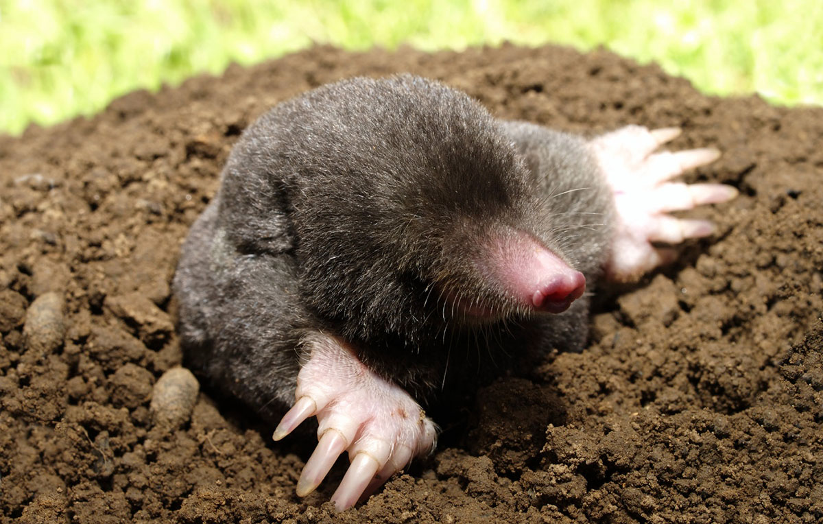 Eastern Mole – Wildlife Illinois