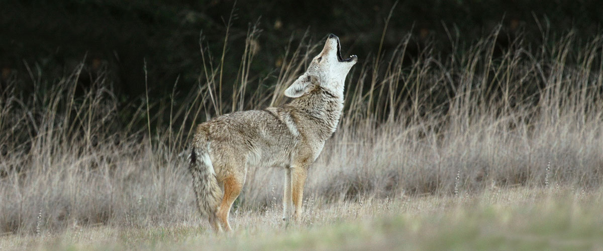 An adult coyote stands howling in tall grasses during the fall. The brown, gray and rust color of the coyote's fur helps it blend into its surroundings.
