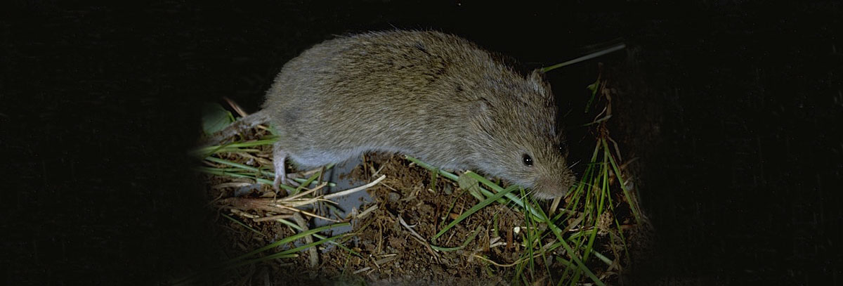A meadow vole looks similar to a mouse, but has a short tail.