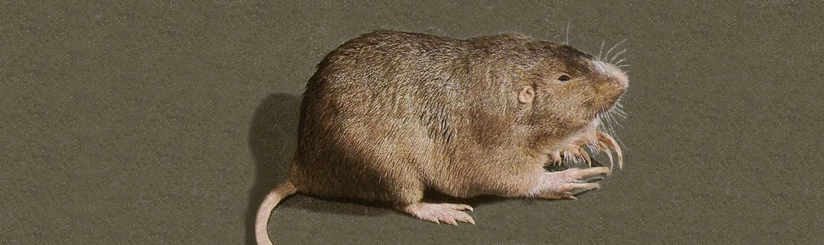 A plains pocket gopher has small eyes and ears, a nearly hairless tail and large front claws for digging.