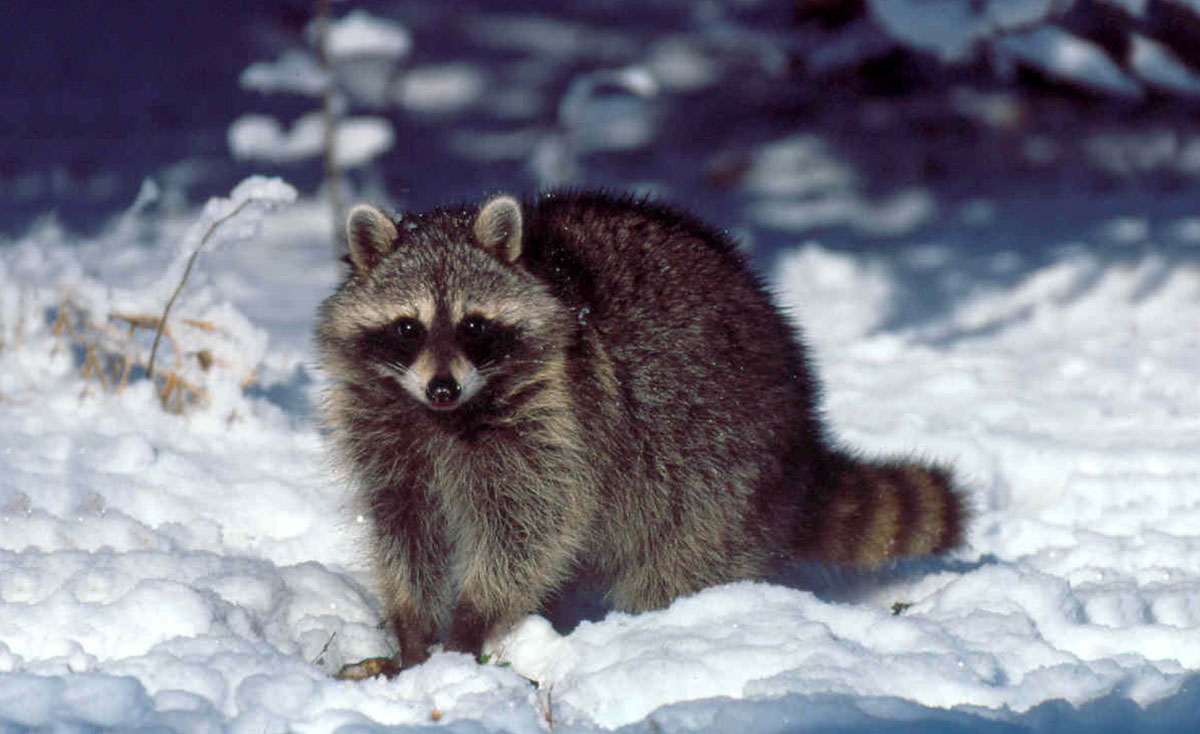 A raccoon in the snow. Raccoons are gray-brown mammals with a dark eyemask and dark rings on their tails.