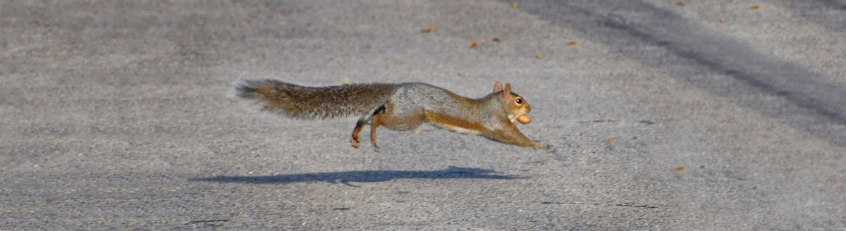 An Eastern gray squirrel runs across a gray, concrete road with a peanut in its mouth.