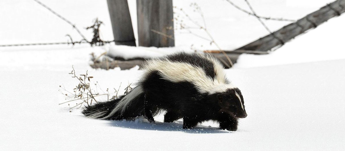 A striped skunk is walking through the snow near a barbed wire fence that has fallen over.