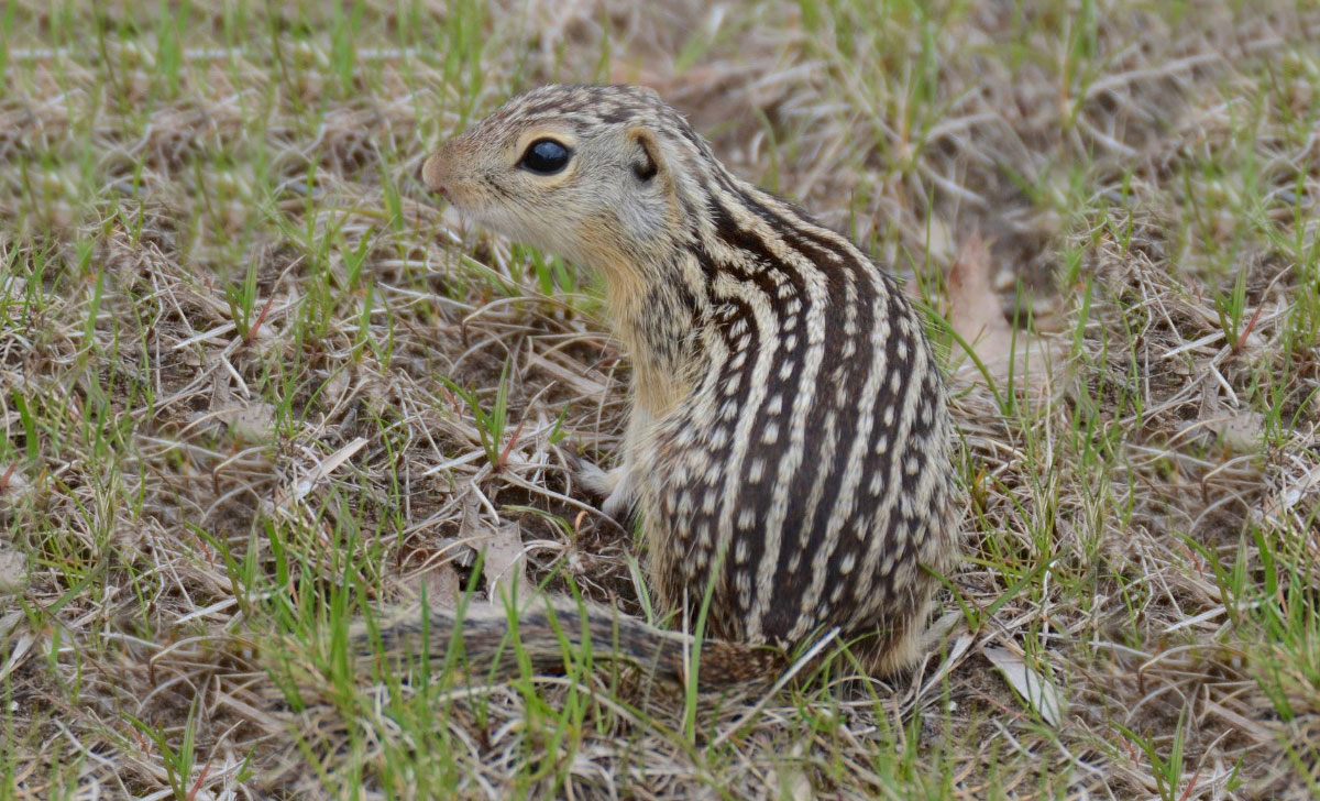 Close-up photo of a thirteen-lined ground squirrel sitting in the grass. The back has alternating stripes of solid tan and dark brown lines with tan spots.