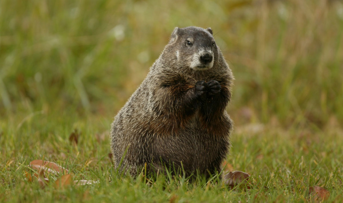A well-fed woodchuck is sitting upright on a green lawn with its paws near its face.