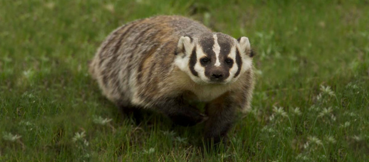 American badgers have a wide, flat body and distinctive black and white markings on their faces.