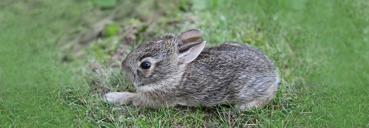 A cottontail rabbit about three weeks old leaves the nest for the first time and is sitting on a grassy lawn.